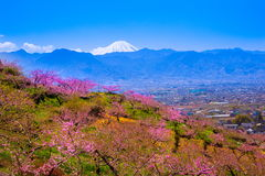 Peach tree and Mt. Fuji Royalty Free Stock Image