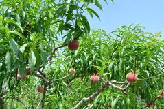 Peach tree in an orchard full of ripe red peaches on a sunny day Royalty Free Stock Images