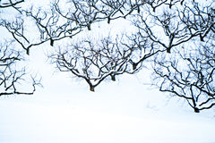 Peach tree orchards on snowy winter landscape Royalty Free Stock Images