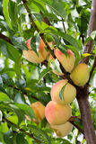 Peach Tree Royalty Free Stock Images