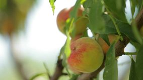 Peach Tree In Ripe Peach Fruits. Juicy peach fruit grows on trees and leaves in the wind stock footage