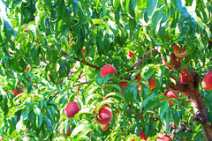 Peach Tree Royalty Free Stock Photo