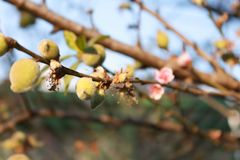 Peach tree with small peaches and flowers stock image