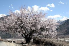 Peach tree and snow mountain Stock Photography