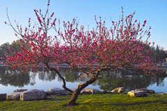 A peach tree in spring Stock Photos