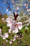 Peach tree in spring season Stock Photos