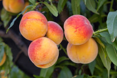Peach tree. Sweet peach fruits growing from a tree branch Royalty Free Stock Photography