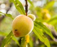 Peach on tree Royalty Free Stock Photography