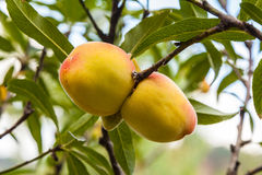 Peach on tree Royalty Free Stock Image