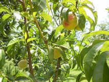 Peach on the tree Stock Images