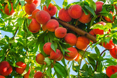 Peach Tree With Fruits Royalty Free Stock Images