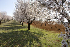 Peach trees Stock Photography