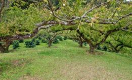 Peach trees . Stock Image