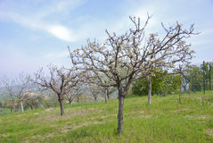 Peach trees. Peach flower on the tree in spring Stock Photo