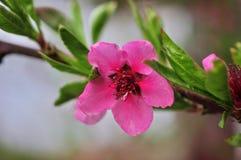 Peach trees bloom in spring. Spring garden Stock Photos