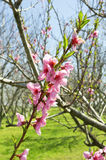 Peach trees in bloom. Royalty Free Stock Photography