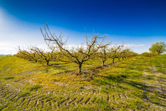 Peach trees in bloom treated with fungicide. And insecticide in traditional agriculture in the countryside of Romagna stock images