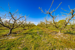 Peach trees in bloom treated with fungicide. And insecticide in traditional agriculture in the countryside of Romagna royalty free stock image
