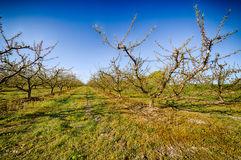 Peach trees in bloom treated with fungicide. And insecticide in traditional agriculture in the countryside of Romagna royalty free stock photos