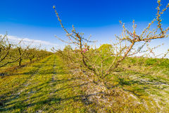 Peach trees in bloom treated with fungicide. And insecticide in traditional agriculture in the countryside of Romagna stock photos