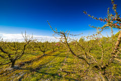 Peach trees in bloom treated with fungicide. And insecticide in traditional agriculture in the countryside of Romagna royalty free stock photo