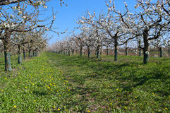 Peach trees blooming in orchard Stock Image