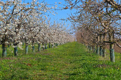 Peach trees blooming in orchard Royalty Free Stock Photos