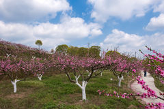 Peach trees blossoming Royalty Free Stock Photo
