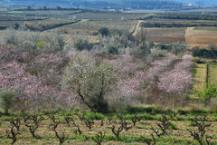 Peach trees in flowering period Royalty Free Stock Photography