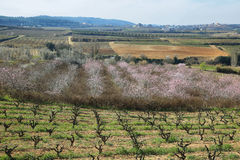 Peach trees in flowering period Stock Images