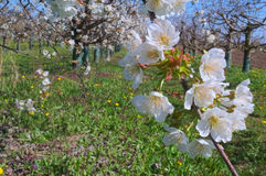 Peach trees flowers blooming in orchard Stock Images