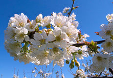 Peach trees flowers blooming in orchard Royalty Free Stock Photography
