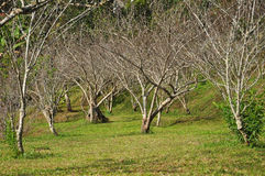 Peach trees stock images
