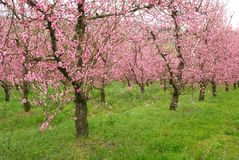 Peach trees in line Stock Photo