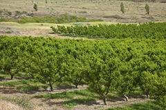 Peach trees orchard Columbia Riber Gorge OR. Stock Photography