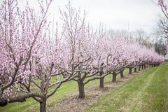 Peach trees Stock Photos