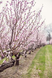 Peach trees Royalty Free Stock Image