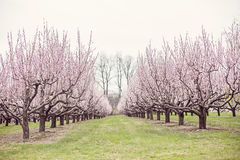 Peach trees Royalty Free Stock Images