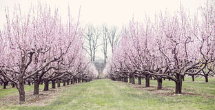 Peach trees Royalty Free Stock Photography