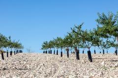 Peach trees plantation Royalty Free Stock Photo