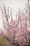 Peach trees Royalty Free Stock Image