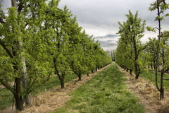 Peach trees rows Stock Image
