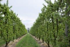 Peach trees rows Royalty Free Stock Photo