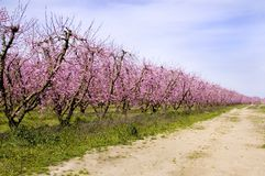 Peach Trees From the Side Stock Photos