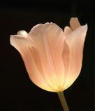 Peach Tulip Closeup Stock Images