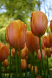Peach Tulips Stock Images