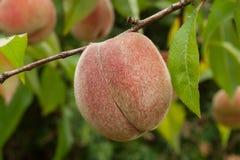 Peach on twig in organic garden stock image