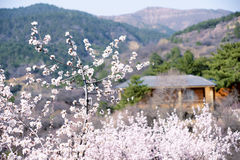 Peach Valley. The spring landscape of Peach Valley in Taiyuan, Shanxi, China Stock Images