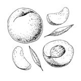 Peach vector drawing. Isolated hand drawn full and sliced pieces Royalty Free Stock Photo