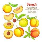 Peach vector set. Peach fruits vector set on white background vector illustration